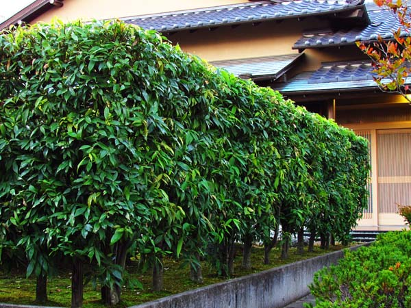 Hedge 01 1